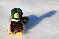 /images/133/2006-10-28-lone-duck02.jpg - #03114: Duck in the snow … Oct 2006 -- Lincoln Rd, Englewood, Colorado