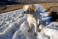 /images/133/2007-02-17-bo-stella-snow03.jpg - #03485: Stella (Golden Retriever and Great Pyrenees mix) in Boulder … Feb 2007 -- Boulder, Colorado