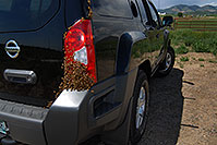 /images/133/2007-05-20-lake-bees02.jpg - #03797: Honey Bee swarm (wth a queen) in the crack in the back of my Xterra … May 2007 -- Lakewood, Colorado