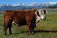 /images/133/2007-06-09-lead-cow01.jpg - #03874: images of Mt Elbert, Colorado