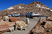 /images/133/2007-06-17-evans-goats-parking.jpg - #03941: images of Mt Evans … June 2007 -- Mount Evans Road, Mt Evans, Colorado