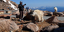 /images/133/2007-06-17-evans-goats-pho2.jpg - #03947: images of Mt Evans … June 2007 -- Mt Evans, Colorado