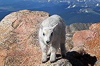 /images/133/2007-06-17-evans-goats01.jpg - #03924: Baby Mountain Goat at Mt Evans … June 2007 -- Mt Evans, Colorado