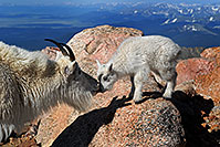 /images/133/2007-06-17-evans-goats02.jpg - #03925: Mother Mountain Goat kissing her baby at Mt Evans … June 2007 -- Mt Evans, Colorado