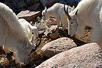 /images/133/2007-06-17-evans-goats07.jpg - #03930: 2 Baby Mountain Goats with their parents … June 2007 -- Mt Evans, Colorado