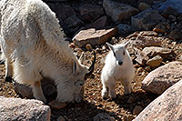 /images/133/2007-06-17-evans-goats08.jpg - #03931: Baby Mountain Goat with her mother … June 2007 -- Mt Evans, Colorado