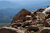 /images/133/2007-06-17-evans-goats10.jpg - #03937: Mountain Goats of Mt Evans … June 2007 -- Mt Evans, Colorado