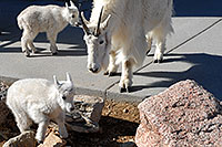 /images/133/2007-06-17-evans-goats12.jpg - #03935: Mountain Goats of Mt Evans … June 2007 -- Mt Evans, Colorado