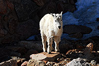 /images/133/2007-06-17-evans-goats13-3479.jpg - #03936: Mountain Goats of Mt Evans … June 2007 -- Mt Evans, Colorado