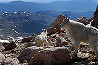 /images/133/2007-06-17-evans-goats14.jpg - #03937: Mountain Goats of Mt Evans … June 2007 -- Mt Evans, Colorado