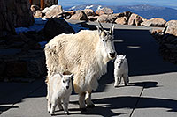 /images/133/2007-06-17-evans-goats15.jpg - #03938: Mountain Goats of Mt Evans … June 2007 -- Mt Evans, Colorado