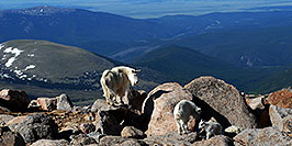/images/133/2007-06-17-evans-goats16-pano.jpg - #03940: Mountain Goats of Mt Evans … June 2007 -- Mt Evans, Colorado
