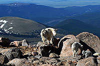 /images/133/2007-06-17-evans-goats16.jpg - #03939: Mountain Goats of Mt Evans … June 2007 -- Mt Evans, Colorado