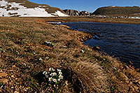 /images/133/2007-06-17-evans-sum-lake-flowers.jpg - #03962: morning near Summit Lake … June 2007 -- Summit Lake, Mt Evans, Colorado