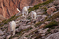 /images/133/2007-06-30-evans-goats01.jpg - #04093: images of Mt Evans … June 2007 -- Mt Evans, Colorado