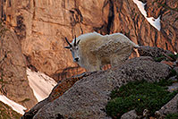 /images/133/2007-06-30-evans-goats02.jpg - #04098: images of Mt Evans … June 2007 -- Mt Evans, Colorado