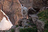 /images/133/2007-06-30-evans-goats03.jpg - #04095: images of Mt Evans … June 2007 -- Mt Evans, Colorado