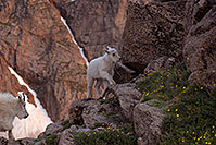 /images/133/2007-06-30-evans-goats04.jpg - #04096: images of Mt Evans … June 2007 -- Mt Evans, Colorado