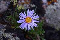 /images/133/2007-07-08-biers-flow-blue.jpg - #04163: Purple daisy along Mt Spalding trail … July 2007 -- Mt Spalding, Colorado