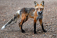 /images/133/2007-07-15-min-fox06.jpg - Animals > Foxes
