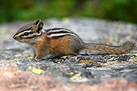 /images/133/2007-07-23-y-chipmunk02.jpg - #04317: Chipmunk posing next to Lookout Point … July 2007 -- Lookout Point, Yellowstone, Wyoming