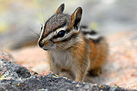 /images/133/2007-07-23-y-chipmunk04.jpg - #04318: Chipmunk posing next to Lookout Point … July 2007 -- Lookout Point, Yellowstone, Wyoming
