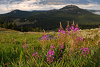 /images/133/2007-07-26-mt-bear-flow01.jpg - #04378: Purple flowers in the morning along Beartooth Pass Highway … July 2007 -- Beartooth Pass(MT), Montana