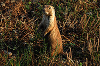 /images/133/2007-07-27-mt-prairie-dog01.jpg - #04462: Prairie dogs in Greycliff Prairie Dog Town … July 2007 -- Greycliff Prairie Dog Town, Montana