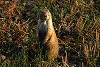 /images/133/2007-07-27-mt-prairie-dog02.jpg - #04463: Prairie dogs in Greycliff Prairie Dog Town … July 2007 -- Greycliff Prairie Dog Town, Montana