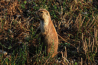 /images/133/2007-07-27-mt-prairie-dog03.jpg - #04464: Prairie dogs in Greycliff Prairie Dog Town … July 2007 -- Greycliff Prairie Dog Town, Montana