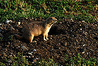 /images/133/2007-07-27-mt-prairie-dog04.jpg - #04465: Prairie dogs in Greycliff Prairie Dog Town … July 2007 -- Greycliff Prairie Dog Town, Montana