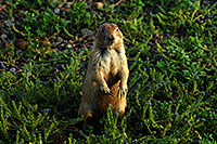 /images/133/2007-07-27-mt-prairie-dog05.jpg - #04466: Prairie dogs in Greycliff Prairie Dog Town … July 2007 -- Greycliff Prairie Dog Town, Montana