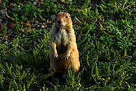 /images/133/2007-07-27-mt-prairie-dog06.jpg - #04467: Prairie dogs in Greycliff Prairie Dog Town … July 2007 -- Greycliff Prairie Dog Town, Montana