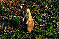 /images/133/2007-07-27-mt-prairie-dog07.jpg - #04469: Prairie dogs in Greycliff Prairie Dog Town … July 2007 -- Greycliff Prairie Dog Town, Montana