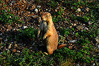 /images/133/2007-07-27-mt-prairie-dog08.jpg - #04470: Prairie dogs in Greycliff Prairie Dog Town … July 2007 -- Greycliff Prairie Dog Town, Montana