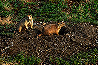 /images/133/2007-07-27-mt-prairie-dog10.jpg - #04472: Prairie dogs in Greycliff Prairie Dog Town … July 2007 -- Greycliff Prairie Dog Town, Montana