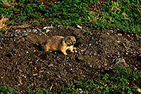 /images/133/2007-07-27-mt-prairie-dog11.jpg - #04473: Prairie dogs in Greycliff Prairie Dog Town … July 2007 -- Greycliff Prairie Dog Town, Montana