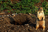 /images/133/2007-07-27-mt-prairie-dog13.jpg - #04475: Prairie dogs in Greycliff Prairie Dog Town … July 2007 -- Greycliff Prairie Dog Town, Montana