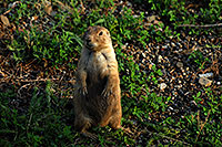 /images/133/2007-07-27-mt-prairie-dog14.jpg - #04476: Prairie dogs in Greycliff Prairie Dog Town … July 2007 -- Greycliff Prairie Dog Town, Montana