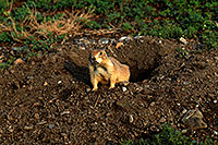 /images/133/2007-07-27-mt-prairie-dog16.jpg - #04478: Prairie dogs in Greycliff Prairie Dog Town … July 2007 -- Greycliff Prairie Dog Town, Montana