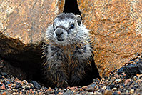 /images/133/2007-07-27-wyo-bear-marmot03.jpg - Animals > Marmots