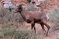 /images/133/2007-07-29-wind-bighorn04.jpg - #04519: Bighorn Sheep in Wind River Canyon … July 2007 -- Wind River Canyon, Wyoming