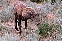 /images/133/2007-07-29-wind-bighorn08.jpg - #04523: Bighorn Sheep in Wind River Canyon … July 2007 -- Wind River Canyon, Wyoming