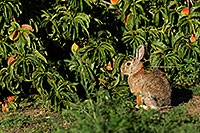 /images/133/2007-08-24-lone-rabbit-8644.jpg - #04556: Rabbit in Lone Tree … August 2007 -- Taos, Lone Tree, Colorado