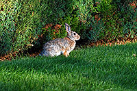 /images/133/2007-08-24-lone-rabbit-8677.jpg - #04558: Rabbit in Lone Tree … August 2007 -- Taos, Lone Tree, Colorado
