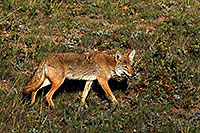 /images/133/2007-08-25-rm-coyote-8851.jpg - 04566: Coyote on a meadow near Sheep Lakes in Rocky Mountain National Park … August 2007 -- Sheep Lakes, Rocky Mountain National Park, Colorado