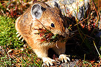 /images/133/2007-08-26-rm-pika-9790c.jpg - Animals > Pikas