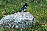 /images/133/2007-09-03-rm-bird2-1514.jpg - #04611: Black-billed Magpie (blue and white with black head and beak) near Sheep Lakes … Sept 2007 -- Sheep Lakes, Rocky Mountain National Park, Colorado
