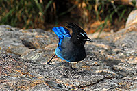 /images/133/2007-09-08-rm-stellers-1667.jpg - #04643: (Blue) Steller`s Jay in Rocky Mountain National Park … Sept 2007 -- Sheep Lakes, Rocky Mountain National Park, Colorado