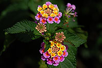 /images/133/2007-10-06-tucson-flow-5256.jpg - #04706: Lantana Camara flowers in Tucson, Arizona … Oct 2007 -- Tucson, Arizona